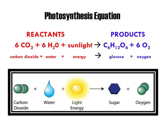 Photosynthesis Importance, Process, Reactions
